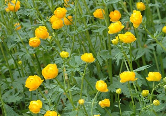 Всё о сибирских цветах огоньках (жарках)- характеристики, сорта, уход и выращивание