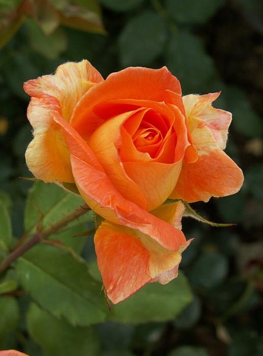 счастлив крымское солнышко роза фото слева мелькали