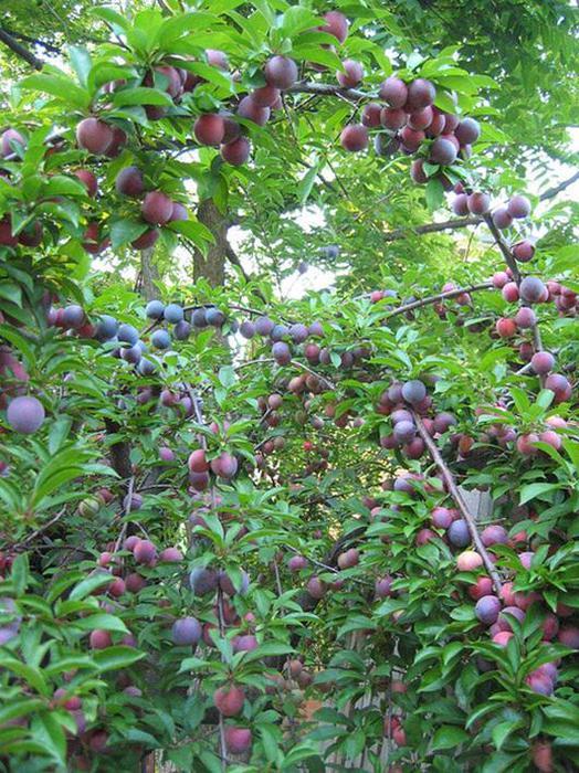 Как растут фрукты. Фотографии деревьев и кустарников, на которых растут плоды