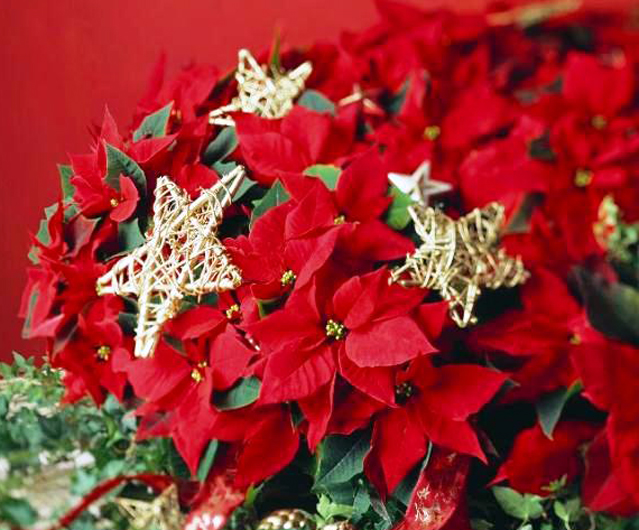 3909763_poinsettia_2 (639x530, 309Kb)