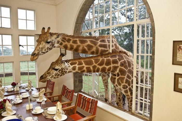 giraffe-manor-3 (700x466, 149Kb)