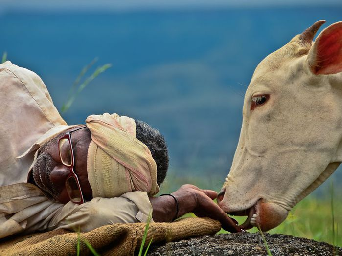 cow-shepherd-india_62675_990x742 (700x524, 60Kb)