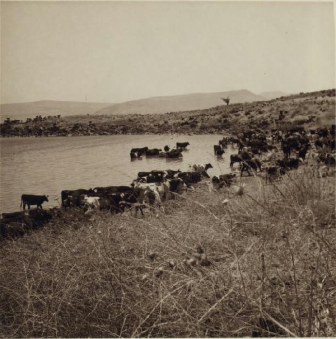 14 Скот возле Тель Хама. 5 июля (692x700, 363Kb)