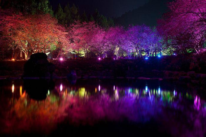Фестиваль цветущей вишни в Тайване
