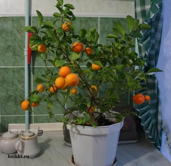как-вырастить-мандарин-дома-4 (595x579, 46Kb)