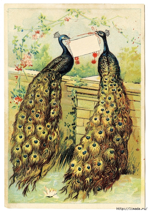 Peacocks-Vintage-Image-GraphicsFairy (493x700, 432Kb)