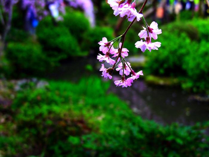 Cherry_Blossom_1 (700x525, 97Kb)