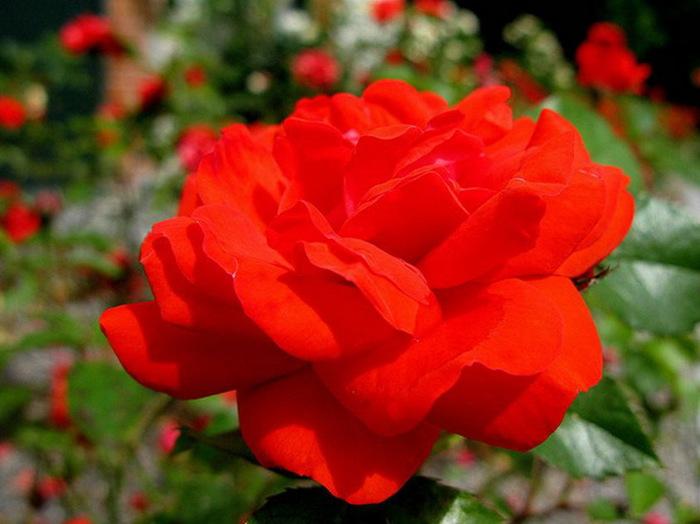 свадьбы картинки в парке чаир распускаются розы улар служит