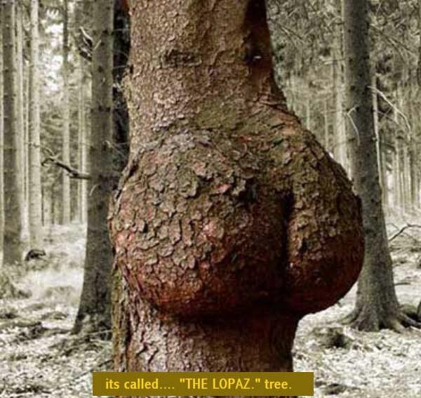 Дерево член