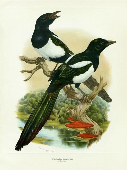 винтажные птицы. картинки для декупажа (1) (522x700, 225Kb)