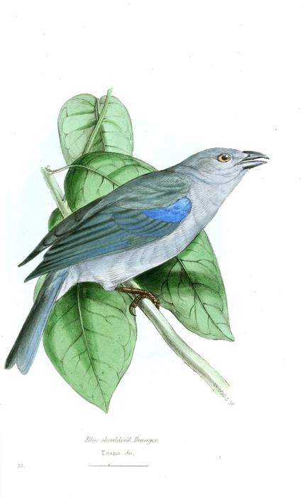 винтажные птицы. картинки для декупажа (4) (427x700, 113Kb)