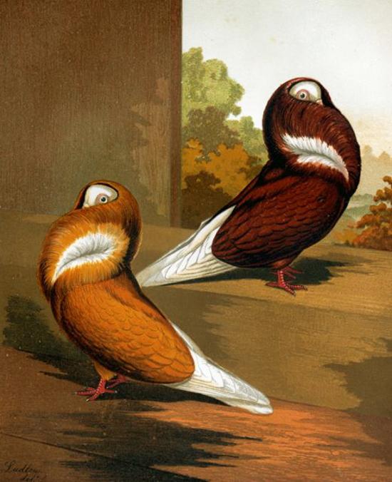 винтажные птицы. картинки для декупажа (8) (550x676, 283Kb)
