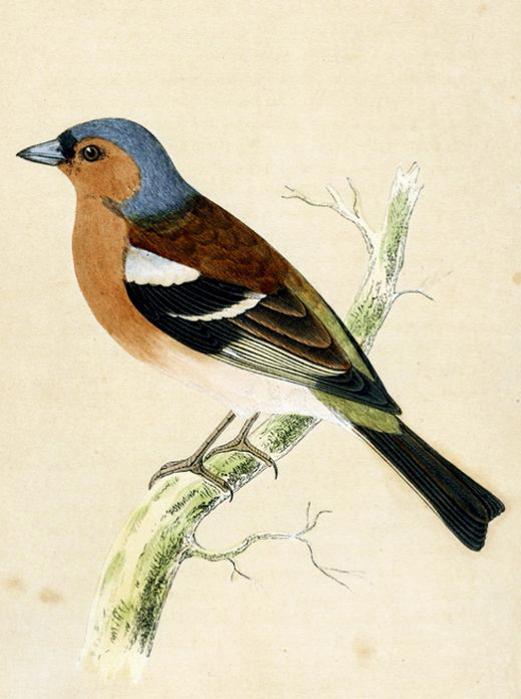 винтажные птицы. картинки для декупажа (18) (521x700, 224Kb)