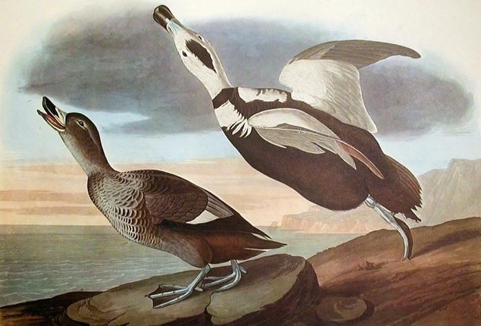 винтажные птицы. картинки для декупажа (20) (700x475, 282Kb)