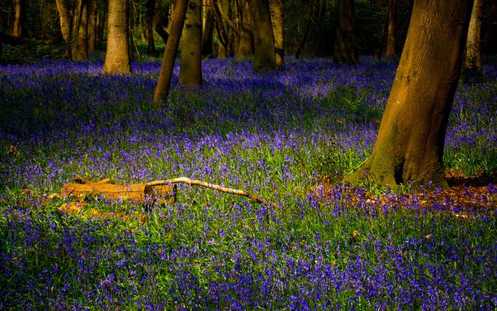 На лесной поляне sinie_tsvety_v_lesu-wide (700x437, 443Kb)