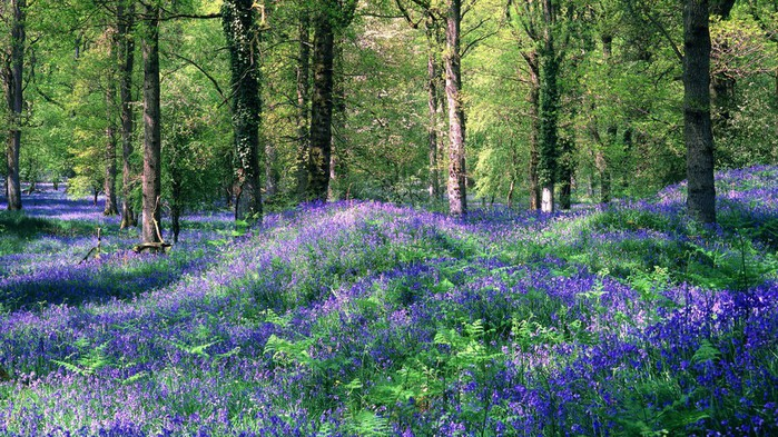 На лесной поляне Bluebells_The_Royal_Forest_Of_Dean_Gloucestershire_England (700x393, 165Kb)