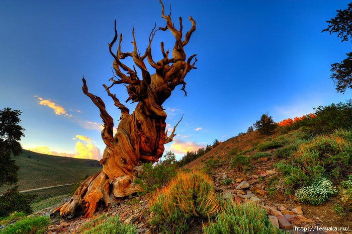 3925073_ancientbristlecone6 (700x465, 287Kb)