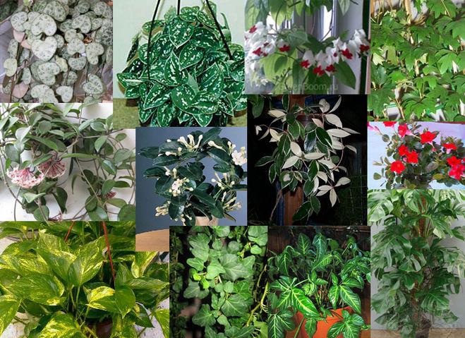 Вьющие комнатные цветы и их названия фото