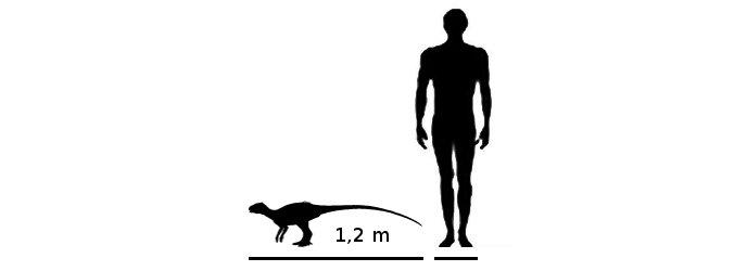 lycorhinus-razmer (688x250, 7Kb)