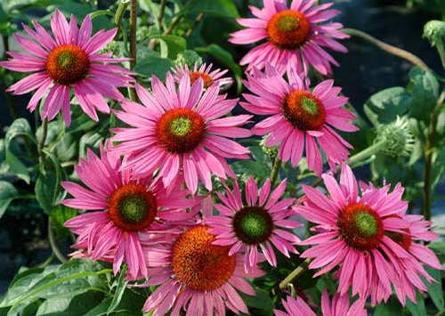 Echinacea 'Green Eyes' (500x355, 52Kb)
