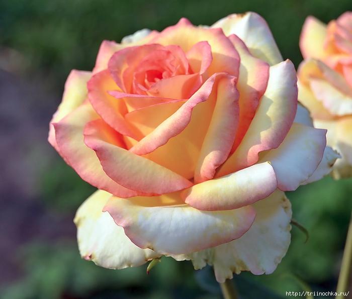 роза сорт софи лорен описание фото ангары