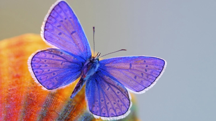 butterfly-wallpaper-1366x768 (700x393, 151Kb)