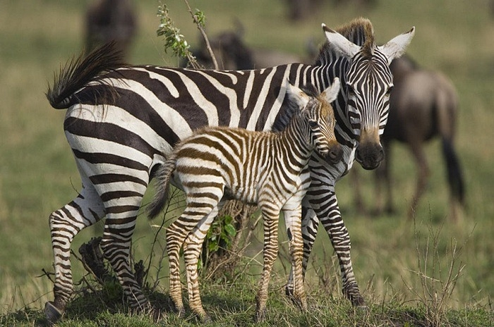 burchells-zebra-and-foal-suzi-eszterhas (700x464, 256Kb)