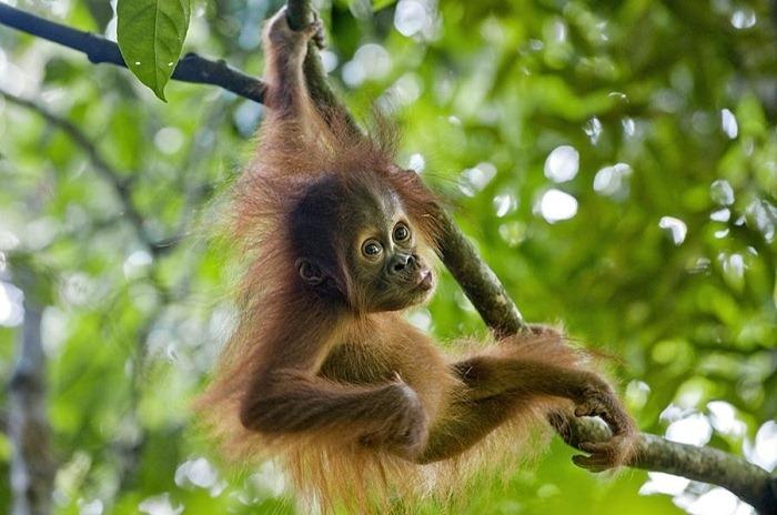 sumatran-orangutan-pongo-abelii-baby-suzi-eszterhas (700x464, 204Kb)