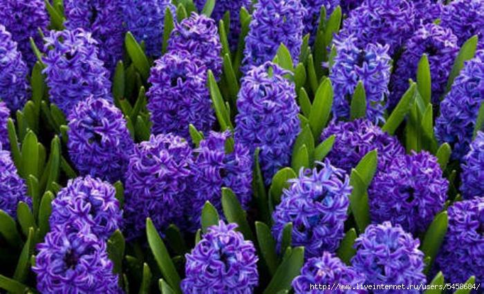 Названия фиолетовых цветов и названиями 96