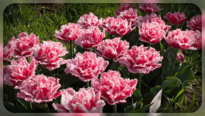 8effb68b1191 махровые тюльпаны - Самое интересное в блогах