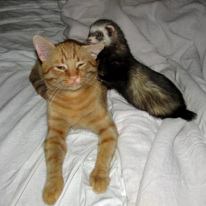 Рыжий кот Тигран и фретка Сара/683232_ya_i_moy_kot (700x700, 352Kb)