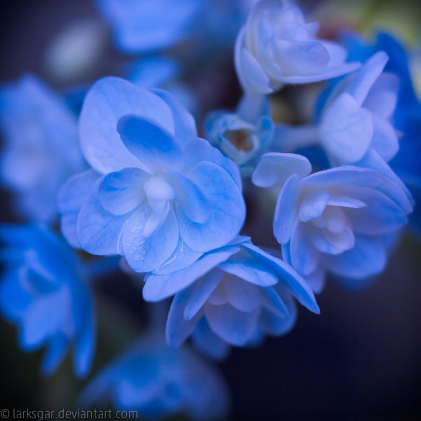 hydrangea_in_august_by_larksgar-d7uywe8 (600x600, 250Kb)