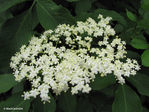 Превью sambucus_flowers_by_blackcatartda-db9mtbb (700x525, 368Kb)