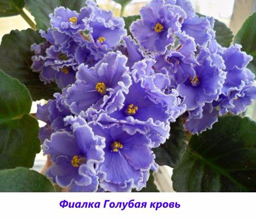 Fialka-Golubaya-krov (500x425, 212Kb)