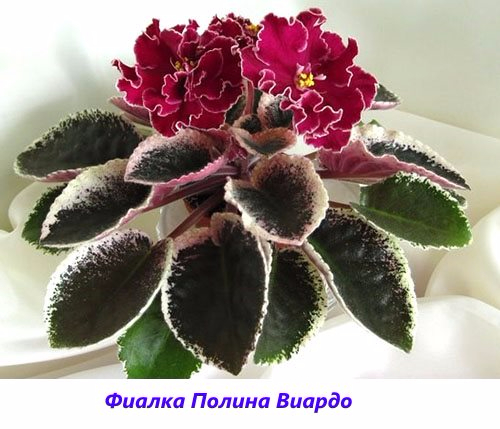 Fialka-Polina-Viardo (500x429, 189Kb)