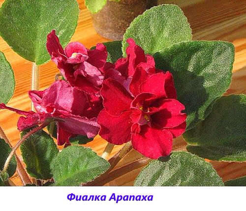 Fialka-Arapakha (500x429, 290Kb)