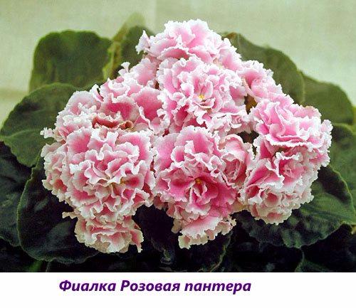 Fialka-Rozovaya-pantera (500x433, 230Kb)