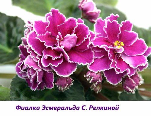 Fialka-YEsmeralda-S.-Repkinoy (500x383, 216Kb)