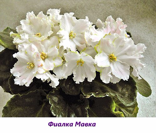 Fialka-Mavka (500x425, 216Kb)