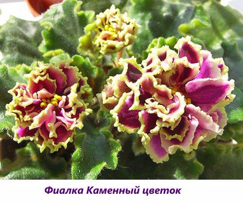 Fialka-Kamennyy-cvetok (500x419, 263Kb)