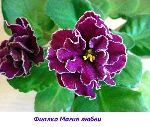 Fialka-Magiya-lyubvi (500x425, 209Kb)