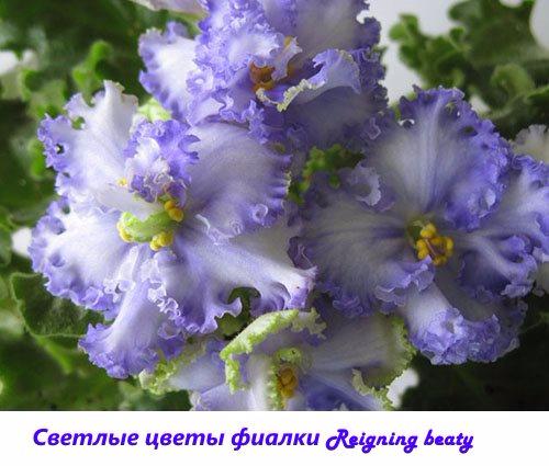 Svetlye-cvety-fialki-Reigning-beauty (500x425, 203Kb)