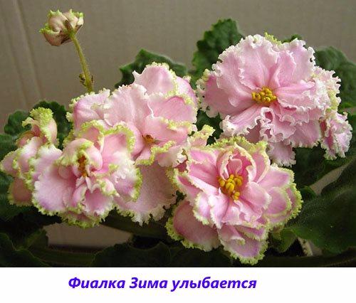 Fialka-Zima-ulybaetsya1 (500x426, 192Kb)