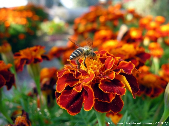 flower-bee-pollination-insect-meadow (700x525, 262Kb)