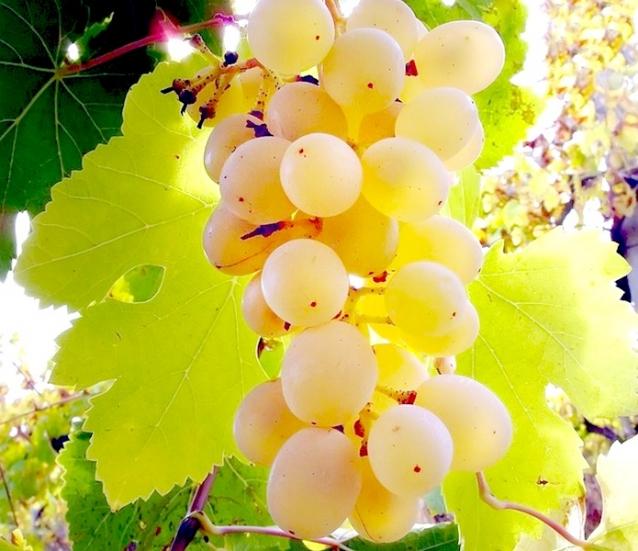 анимационная картинка белого винограда лицо выглядит