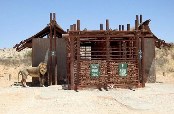 137319939 091817 1138 1 В Африке король зверей не пустил туристов в туалет