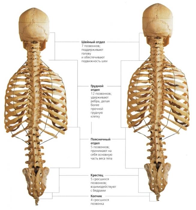 удается шейный отдел позвоночника картинка со всеми мышцами бухты