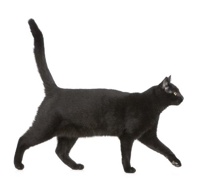идущий кот вид с боку картинки фоне дождя