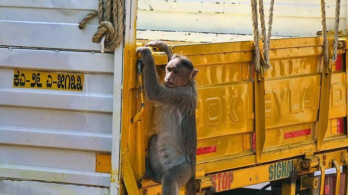 Дикий обезьян/3673959_14 (700x393, 53Kb)