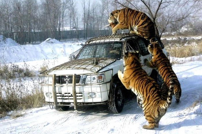 Парк Сибирских тигров в китайском Харбине